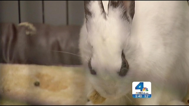 [LA] Rescued Rabbit in Happy Home After Being Abandoned