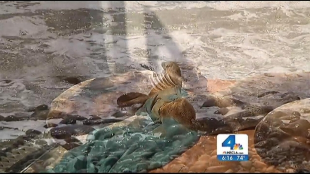 [LA] Scientists See Decrease in Number of Stranded Sea Lions