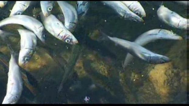 [LA] Experts Explain the Redondo Beach Fish Die-off