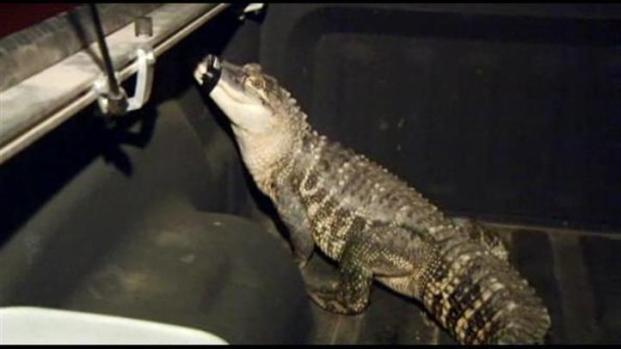 [LA] Giant Gator, Exotic Pets Found in Inland Empire