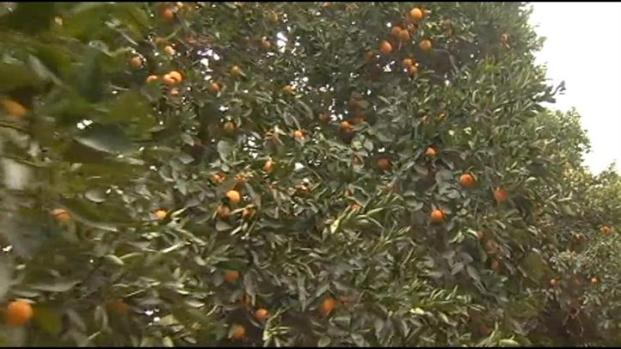 [LA] IE's Deep Freeze Not All Bad for Orange Growers