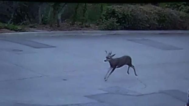[LA] Deer Shot With Bow and Arrow