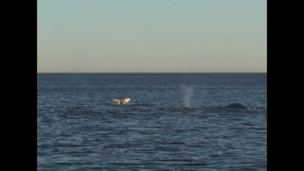 [LA] Huge Pod of Gray Whales Spotted Off SoCal