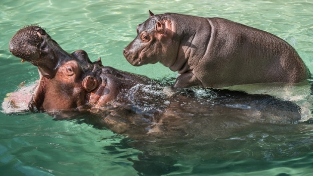 LA Zoo: Hippo Encounter