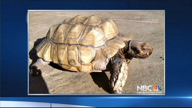 [BAY] Reward Offered for Missing Peninsula Tortoise