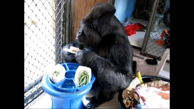 [BAY] Raw Video: Koko at Home