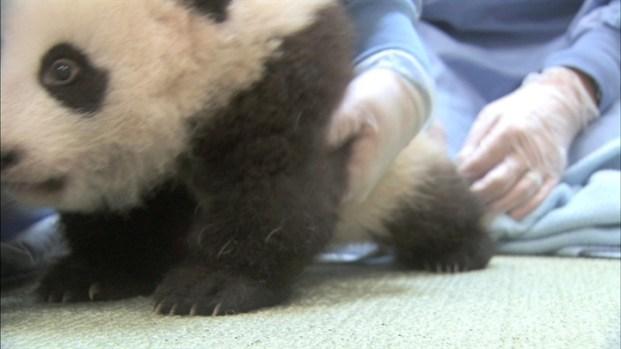 [LA] San Diego Zoo Gives 12th Exam to Baby Panda