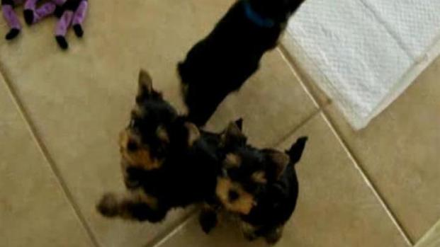 [LA] Puppies Stolen