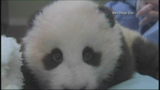 [DGO] Panda Reaches 100 Days