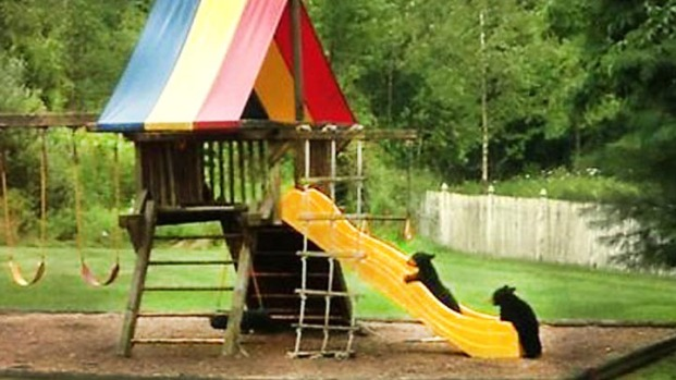 [NATL] Bear Cubs Play on a New Jersey Slide