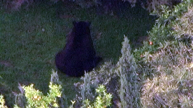 [LA] Aerial Video: Drowsy Bear Climbs, Breaks La Crescenta Fence