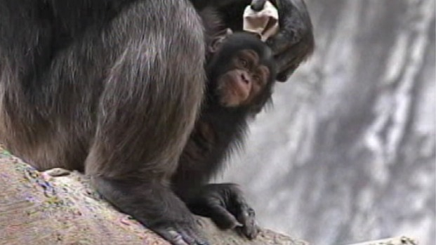 Adult Chimpanzee Fatally Mauls Baby Chimp at LA Zoo - NBC