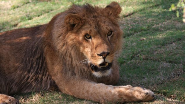 [LA] Lion Kills Female Intern at Animal Sanctuary