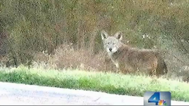 [LA] Coyotes on the Loose in Carson Trailer Park