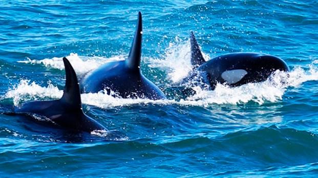[NEWSC] Scuba Diving Couple Encounters Killer Whales