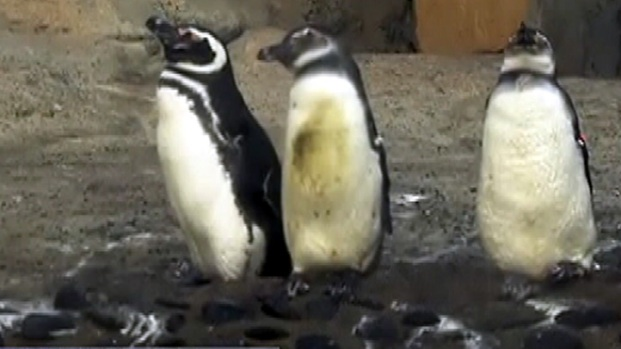 [LA] Raw Video: Penguins at the Aquarium of the Pacific