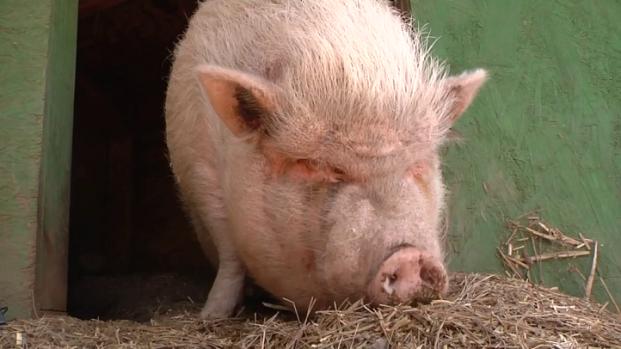 [DGO] 200-Pound Pig Runs Through Vista