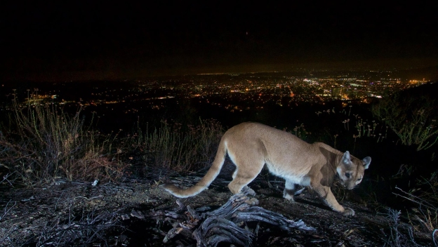Mountain Lion Caught on Camera in Verdugo Mountains