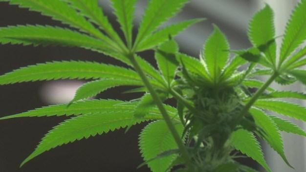 Marijuana Exhibit Coming to Oakland Museum