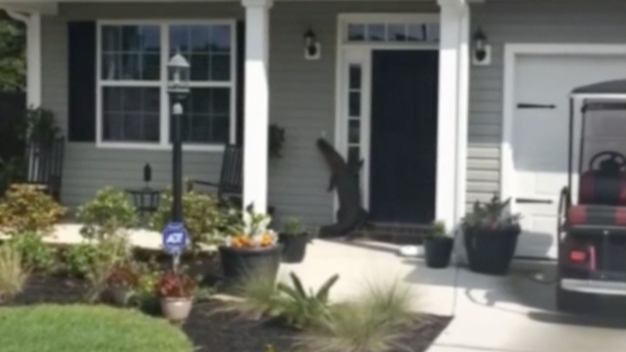 Lost Alligator Tries to Ring Doorbell at S. Carolina Home