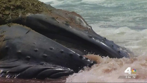 Beached Whale Removed From Dockweiler