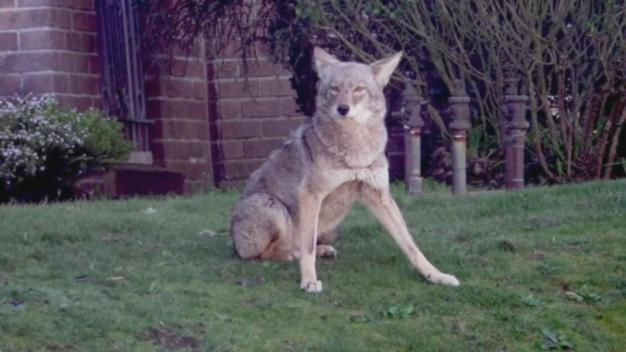 Parks Service Wants Help Collecting Coyote Excrement