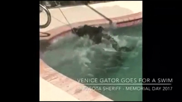 Gator Goes for a Swim in Family's Pool