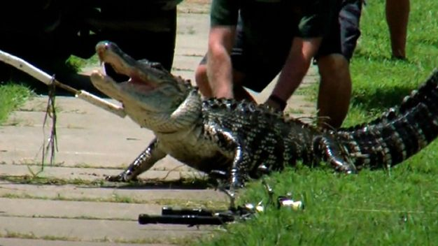 Man Attacked by Gator
