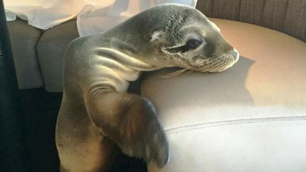 Sea Lion Pup Found Sleeping in San Diego Restaurant Booth