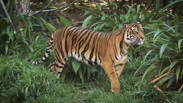 Endangered Tiger Cubs Explore New Safari Park Habitat