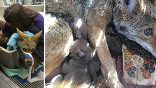 Coyote Blinded Bullet is Euthanized