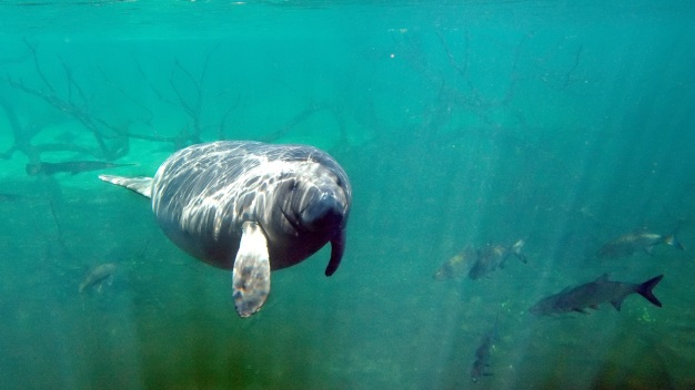 Florida Manatee Deaths Could Reach Record High