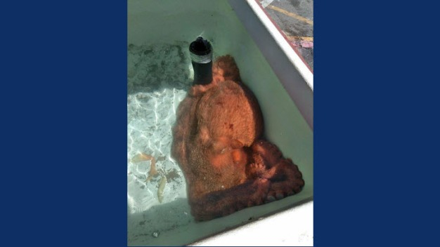 California Fish Market Buys Giant Octopus Then Sets it Free