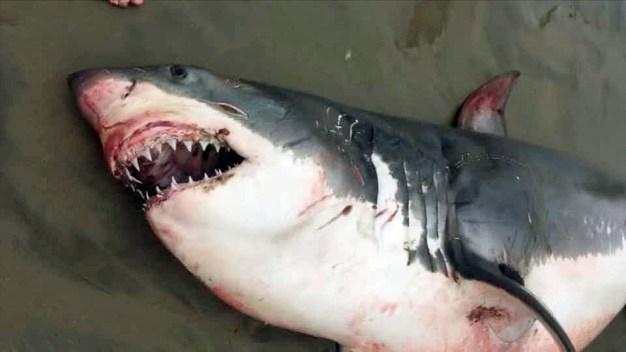 Death of Great White Shark Sparks Criminal Probe