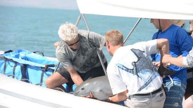 Researchers Find, but Release, Endangered Vaquita in Mexico