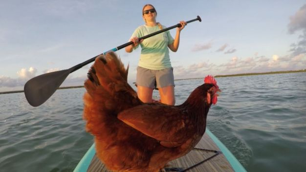 Chicken of the Sea? Pet Chicken Loves to Paddleboard