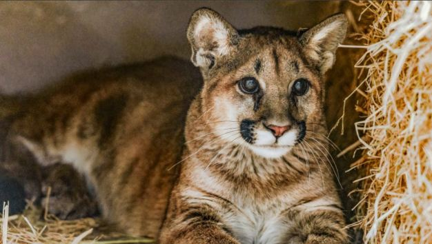 Animal Activists Want Mountain Lions Protected<br />