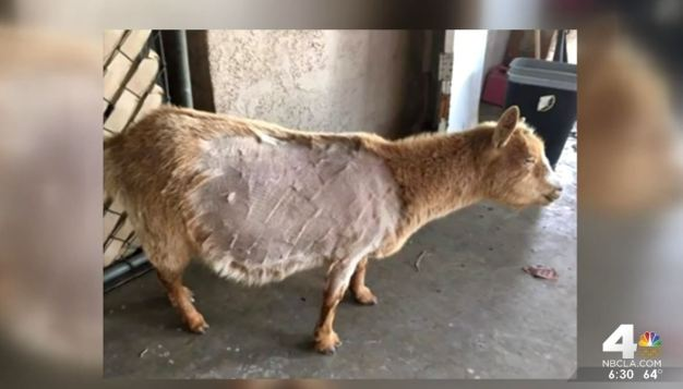 Animal Cruelty Investigation After Goat Dies Following Senior Prank
