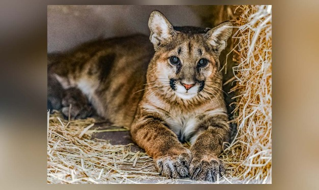 Mountain Lion Cubs Orphaned in OC Have a New Home
