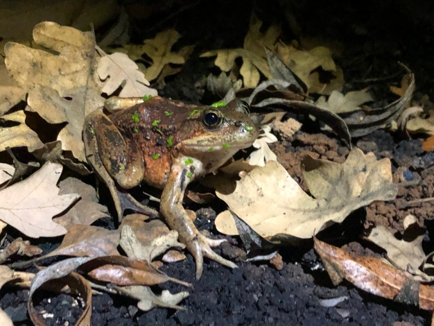 California Red-Legged Frogs Were Thriving, Then the Woolsey Fire Annihilated Their Habitat