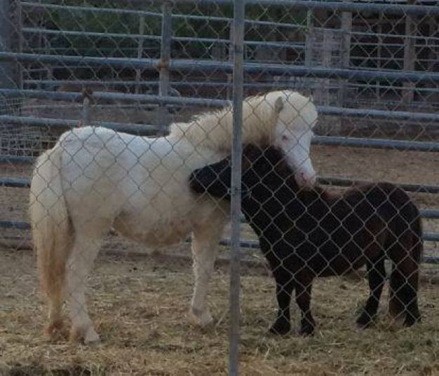 Miniature Therapy Horse Stolen From Animal Sanctuary