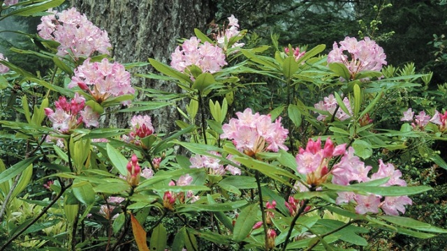 Rhododendrons: Coastal Spring Blooms