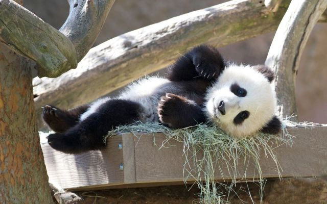 Panda cub XIao Liwu enjoys some sunny San Diego weather at the zoo on Mar. 2, 2013. Panda life is tough, right?