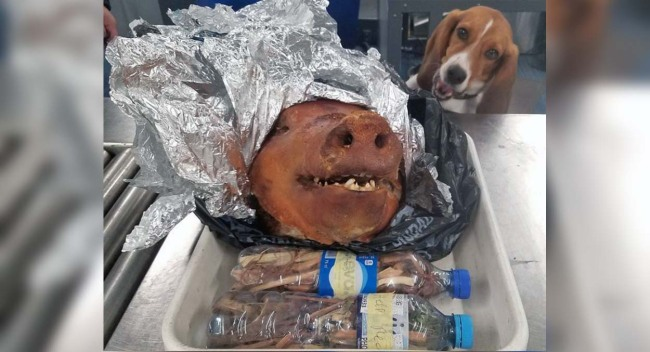 Intrepid Beagle Sniffs Out a Roasted Pig at World's Busiest Airport