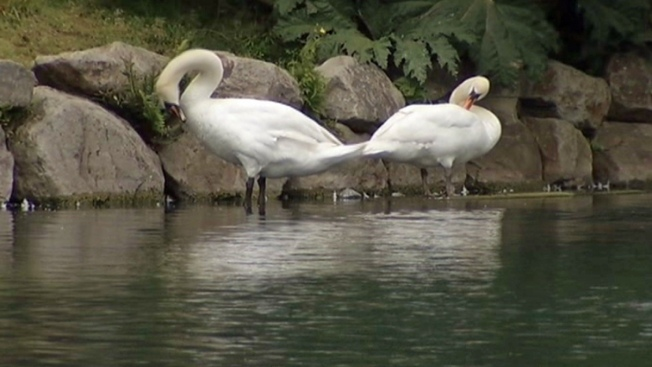 Baby Swans Missing from Palace of Fine Arts, Likely Dead