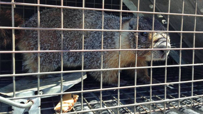 Update: Elusive Potrero Hill Marmot Captured in San Francisco