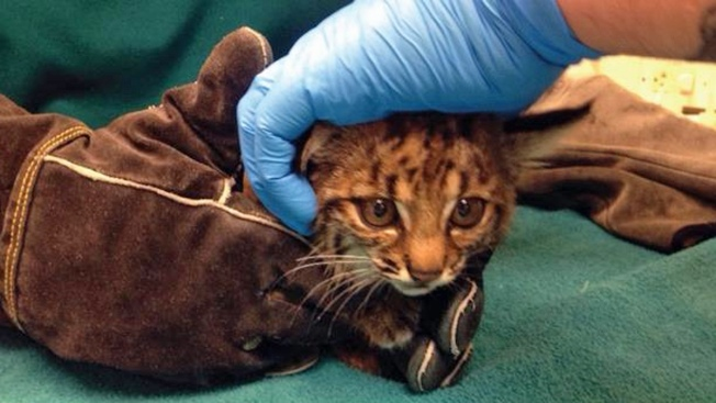Injured Baby Bobcat Needs Medical Attention After Being Discovered By Girl Scouts in San Mateo Park