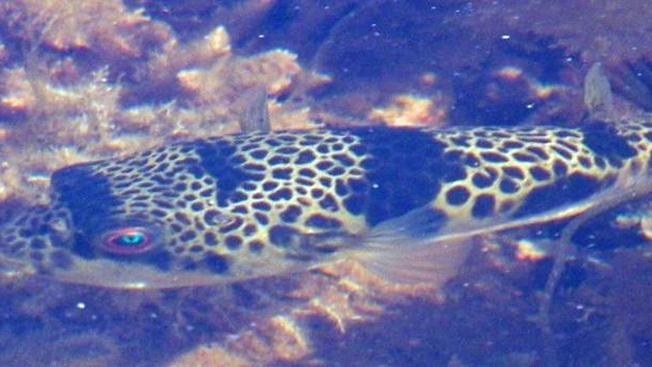 Strange Humming Sound Disturbing Residents Near Monterey Bay Probably Toadfish