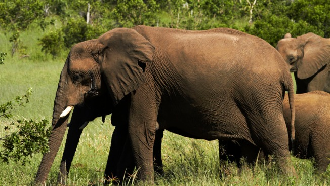 South African Game Hunter Dies After Elephant Falls on Him