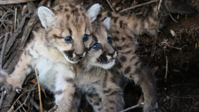 Mountain Lion Kittens Die of Starvation After Mother Abandoned Them